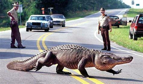 alligators alligator many brunswick county road cross did