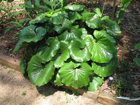 farfugium japonicum giganteum onlineplantguidecom