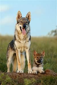 czechoslovakian wolfdog czechoslovakian vlcak