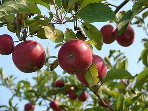 Best Apple Picking Near Nyc  Apple Farms  U0026 Orchards To