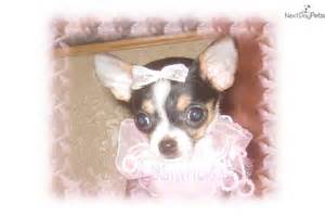 Apple Head Chihuahua Puppies