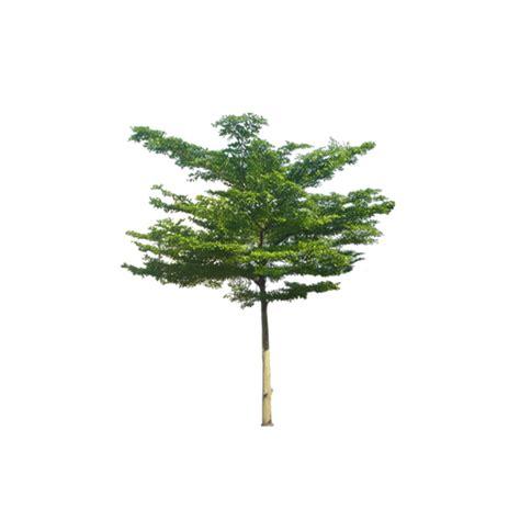 deskripsi klasifikasi manfaat pohon ketapang