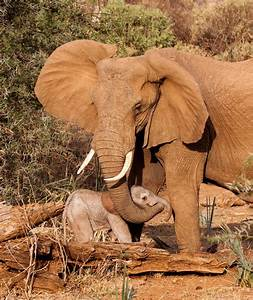 Baby And Mom African Elephants