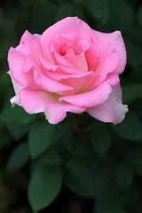 Zitronenbaum Gelbe Blätter : die besten 25 rosen veredeln ideen auf pinterest ~ Lizthompson.info Haus und Dekorationen