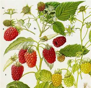 Raspberry Wineberry Fruit Chart Food Botanical Lithograph