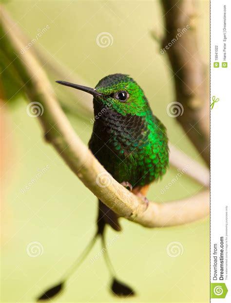 spectacular booted racket tail hummingbird stock