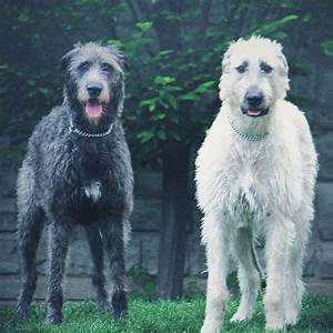1028 best images about irish wolfhound on Pinterest ...