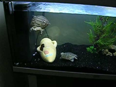 2 pelomedusa subrufa m 226 les tortue d eau