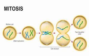 Mitosis Gcse  Mitosis - Mitose Gcse