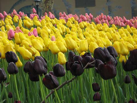 bulbi di tulipano in vaso tulipani in olanda turisti a ogni costo