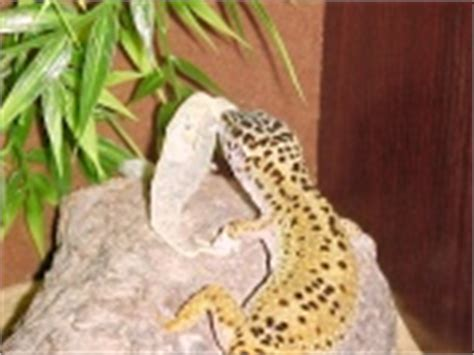 leopard gecko shedding photos