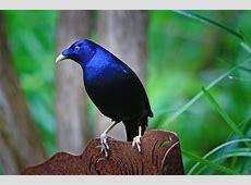Satin Bowerbird Ptilonorhynchus · Free photo on Pixabay