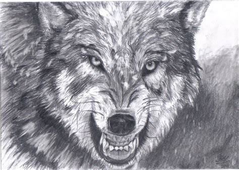 wolf drawing yahoo image search results art