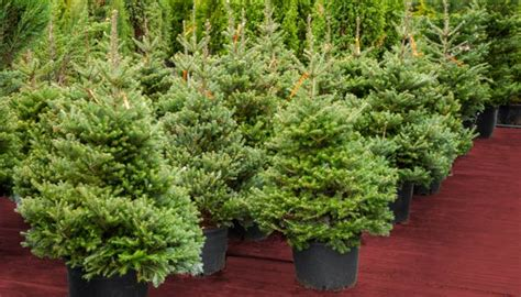 weihnachtsbaum im topf kaufen weihnachtsbaum mieten im topf oder kaufen
