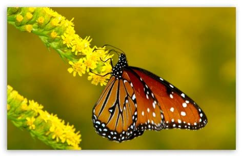 Monarch Butterfly On Yellow Flowers 4k Hd Desktop