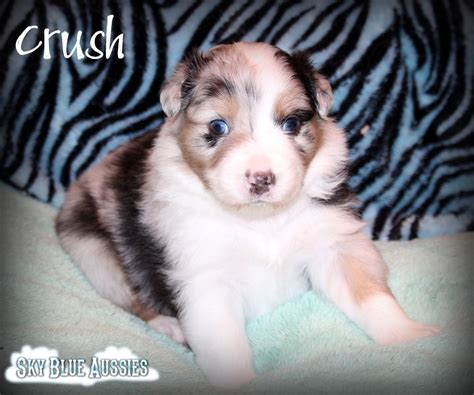 Hair Implants Ansley Ne 68814 Royal Akc Australian Shepherd Puppies For Sale