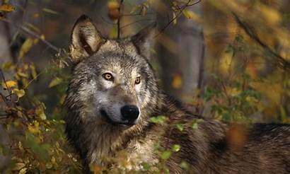 Wolf Lone Wolves Animals Does Wallpapers Alone
