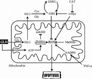 Mechanisms By Which Glutamine May Regulate Oxidative