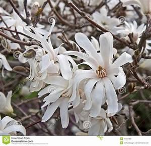Baum Mit Weißen Blüten : wei er stern magnolien baum in der bl te stockfoto bild ~ Michelbontemps.com Haus und Dekorationen