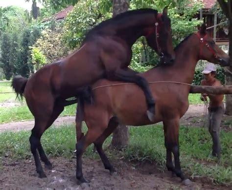 Sexo Entre Cavalos Fodendo égua No Cio Zoofilia