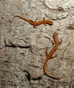 Ohio Salamander Species