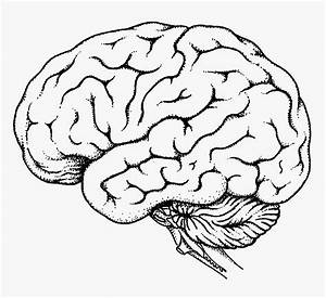 Brain Sketch Diagram At Paintingvalley Com