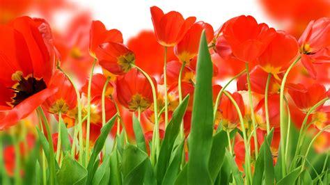 1920x1080 beautiful tulips garden tulips wallpapers best wallpapers