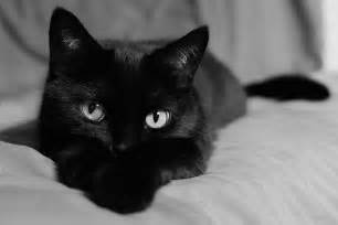 black cat pictures october black cat month via about check out our