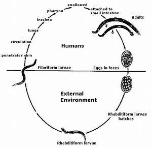 Environmental Health 320 2012f  Hookworms