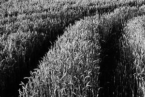 White And Black : grayscale corn fields during daytime free stock photo ~ Medecine-chirurgie-esthetiques.com Avis de Voitures