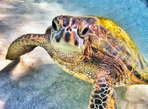 Hawaiian Sea Turtle #2