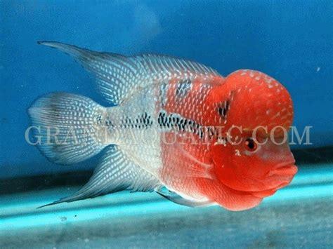 flowerhorn  hybrid cichlids aquarium fish thailand