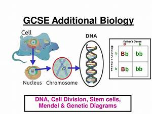 Gcse Aqa Additional Biology  Dna  Cell Division  Mendel  Genetic Diagrams  Screening Ppt  24