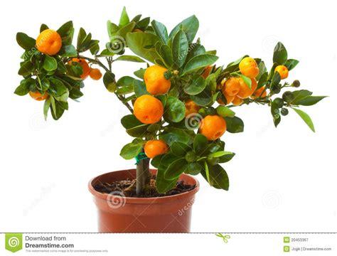Citrus Tree With Fruit Small Orange Royalty Free Stock