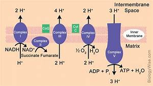 Electron Transport Chain Steps Explained With Diagram