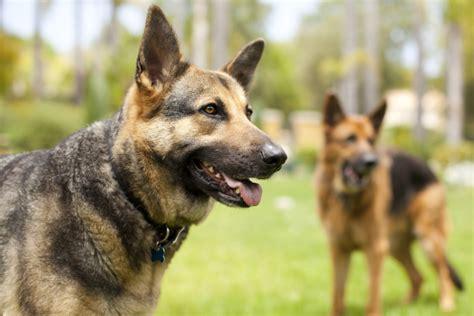 americas  popular dog breeds  timecom