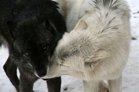 Black And White Wolf 17 Desktop Wallpaper