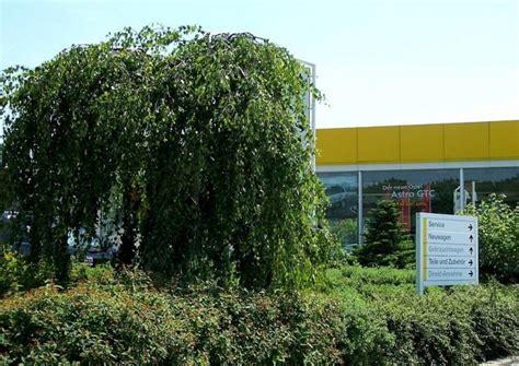 birken betula kleine arten und sorten pflanzung