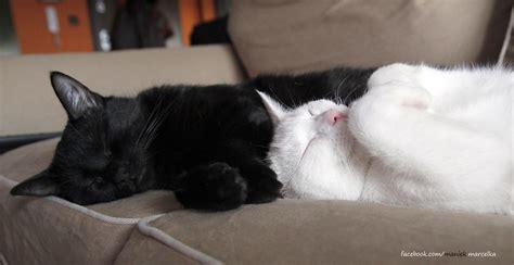 dua kucing hitam putih  punya gaya tidur lucu  memang hobinya tiduuuurrr melulu