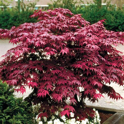 planting a japanese maple how to planting and caring for japanese maples wayside gardens