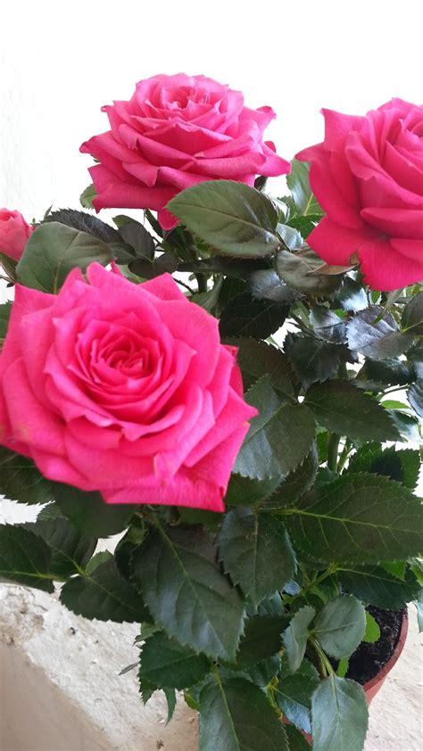 gambar pokok bunga ros cantik inilah realiti bukan fantasi