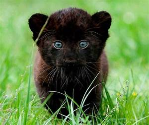 Black Panther Baby | ~Lion's, Tiger's, & Etc.~ | Pinterest