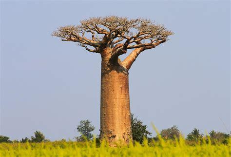 cuisine aux huiles essentielles le baobab arbre mythique africain aux 1000 vertus herbier de plantes médicinales ladrôme