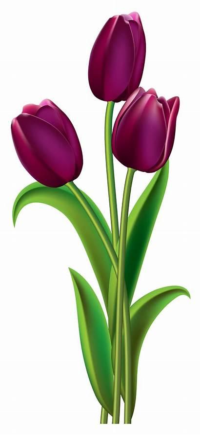 Tulips Transparent Clipart Tulip Flower Clip Purple