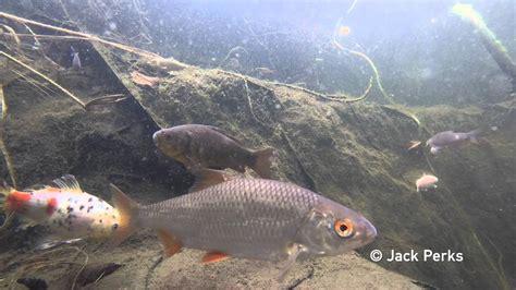 species  fish  garden pond underwater  youtube