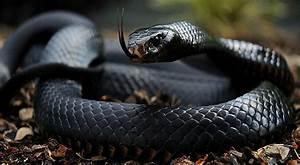 Black Mamba Bite Wound | www.pixshark.com - Images ...