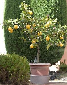 Zitruspflanzen Gelbe Blätter : zitronenbaum zitronen werden nicht gelb ostseesuche com ~ Orissabook.com Haus und Dekorationen
