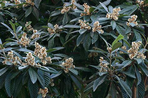 fiori di nespolo nespolo in fiore segnalazione fiori e piante spontanee