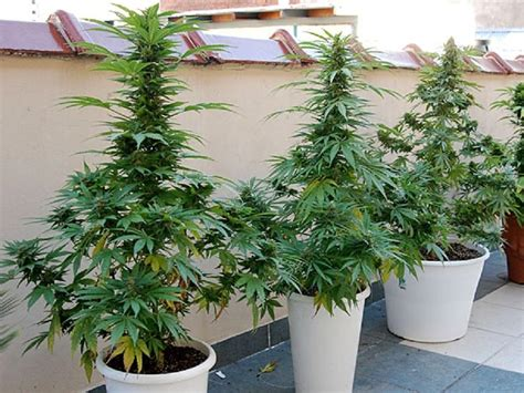 quel graine de cannabis choisir pour interieur guide culture ext 233 rieure graines de cannabis auto floraisons biotops biz