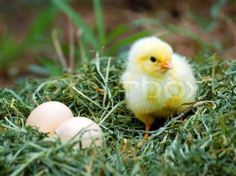 chiken hatching   nest stock photo colourbox